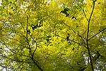 Spring Leaves In Victoria Park, Opposite The Astor Hotel In Tianjin.