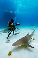 Lemon Sharks, Negaprion brevirostris, scuba diver, and boat, West End, Grand Bahama, Atlantic Ocean