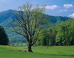 Great Smoky Mts. National Park, TN/NC<br /> Single tree in rolling pasture on a spring morning - Cades Cove
