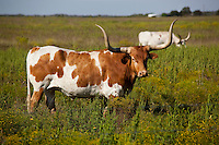 Texas Longhorn Cattle & Dairy Cow - Stock Photo Image Gallery