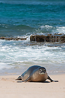 Hawaiian monk seal, Neomonachus schauinslandi, Critically Endangered endemic species, coming ashore on beach at west end of Molokai, USA, Pacific Ocean