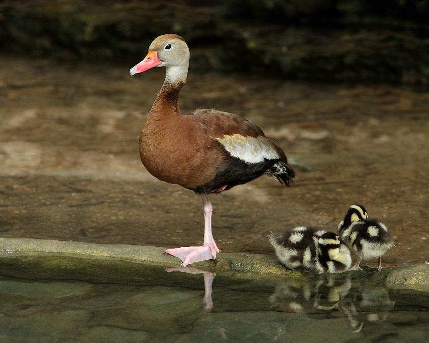 Black-bellied Whistling Duck family.