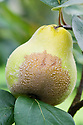 Brown rot is a fungal disease that can afflict quinces particularly badly, both while the fruit is ripening and when it is in storage.
