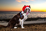 Piper the border collie gets in the Christmas spirit at Shell Point Beach in the north Florida panhandle.