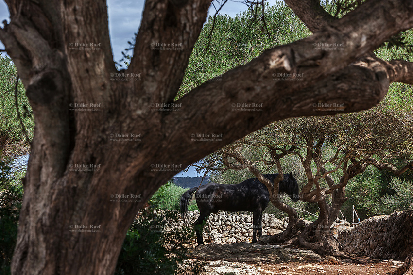 Spain. Balearic Islands. Minorca (Menorca). Son Martorellet. Son Martorellet is a place where the Pure Breed Minorcan horses are breed and trained. The Menorquín is a breed of horse indigenous to the island and is closely associated with the doma menorquina style of riding. The most valued quality of Menorquín horse is its suitability for the traditional festivals of Menorca. Son Martorellet is located in the centre of the island, which is part of the autonomous community of the Balearic. In Spain, an autonomous community is a first-level political and administrative division, created in accordance with the Spanish constitution of 1978, with the aim of guaranteeing limited autonomy of the nationalities and regions that make up Spain. 11.09.2019 © 2019 Didier Ruef