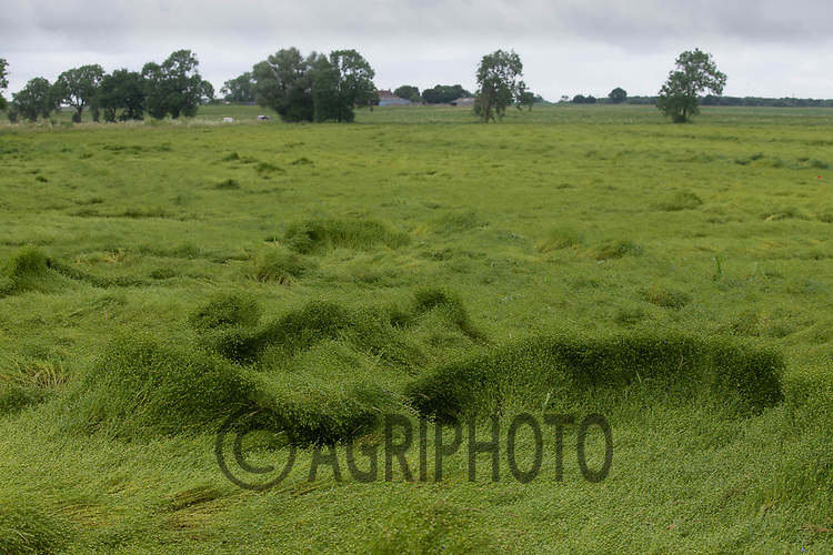 19-6-2021 Linseed damaged by heavy wind and rain.<br /> ©Tim Scrivener Photographer 07850 303986<br />      ....Covering Agriculture In The UK....