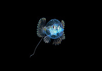 1 inch larval Pancake Batfish, Halieutichthys aculeatus, photographed during Blackwater drift dive in open ocean at 50 feet with the bottom 650 feet below, Palm Beach, Florida, USA, Atlantic Ocean