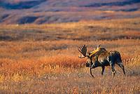 Bull Moose treks across open autumn tundra during mating season, Denali National Park, Alaska