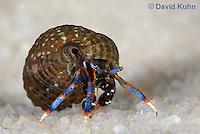 1205-0909  Aquatic, Underwater Hermit Crab, Dwarf Blue Leg Hermit Crab, Clibanarius tricolor  © David Kuhn/Dwight Kuhn Photography