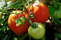 Close up of red and green tomatoes growing on the vine. Wisconsin.