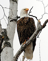 Bald eagle stares into the distance while perched on a birch limb.