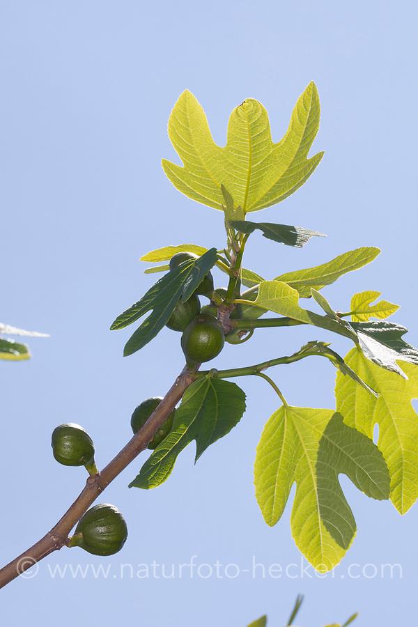 Feige, Echte Feige, Feigen, Feigenbaum, Feigenblüte, Feigenblüten, Blüte, Blüten, Blütenstände, Blütenstand, Ficus carica, Fig, common fig, Figuier, Figuier comestible, Figuier commun