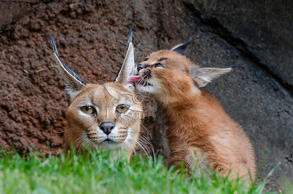 """Caracal (Caracal caracal) mom being licked by about 6 weeks old kitten.  The word """"Caracal"""" comes from the Turkish word """"karakulak"""" which means """"black ear.""""  Found in Africa through Central Asia and India."""