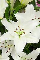 Lilium 'Rialto' (Oriental lily) white