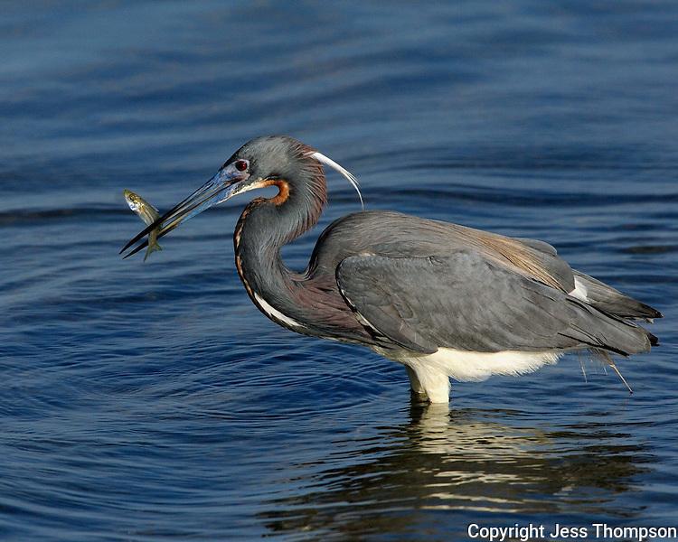 Tri-colored Heron, South Padre Island, TX