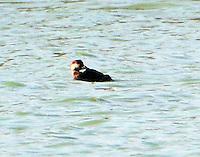 Female black scoter preening