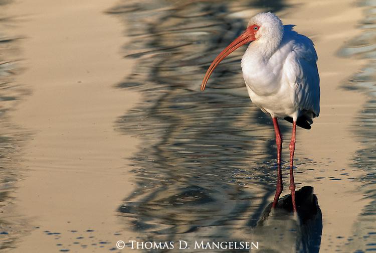 White Ibis wading at Estero Beach in Florida.