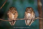 A pair of Madagascar Torotoroka scops owls (Otus rutilus) perched. Ankarana Reserve, northern Madagascar, December.