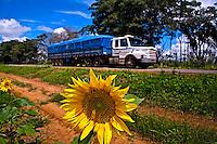 Plantaçao de girassol e BR-163 em Sinop. Mato Grosso. 2010. Foto de Ricardo Funari.