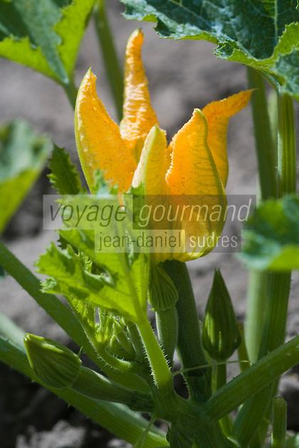 Europe/France/Aquitaine/40/Landes/ Lencouacq:  Fleur de courgette dans  le Jardin Potager de la Ferme Auberge du Jardin de Violette chez Violette Valés - agricultrice et restauratrice