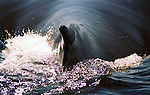 The Humpback Whale surfaces,getting ready to sound off the Maui Coastline in the AuAu Channel on January 1,1997.© Debbie VanStory/RockinExposures.