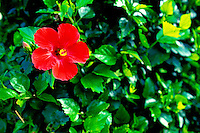 A single red hibiscus pops out in a sea of lush green leaves.