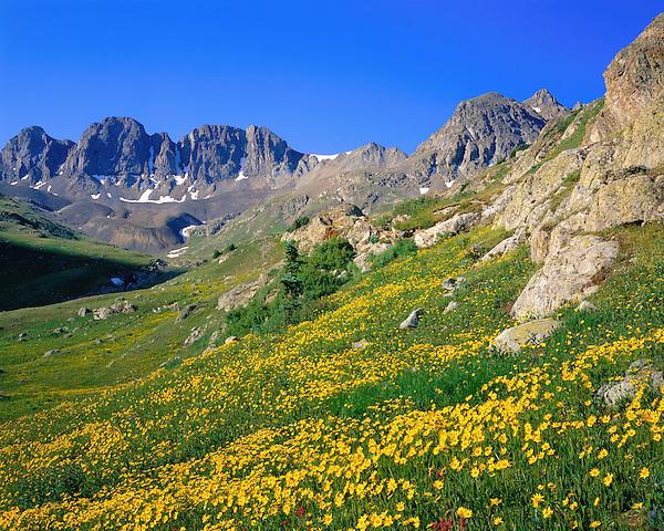 Alpine wildflowers in the American Basin (12,300 feet) below Cinnamon Pass, San Juan Mountains, southwest Colorado, .  John leads wildflower photo tours into American Basin and throughout Colorado. All-year long. John guides custom photo tours in the Sneffels Range and throughout Colorado.