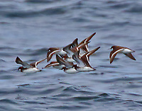 Flock of female red-necked phlaropes