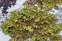 Tree Lungwort {Lobaria pulmonaria} lichen growing on a mature beech tree. Kyle of Lochalsh, Scotland. March.