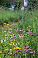 Echinacea purpurea, purple cone flower and Rudbeckia, native wildflowers in Minnesota prairie meadow garden