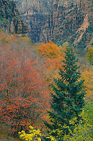White fir and bigtooth maples <br />