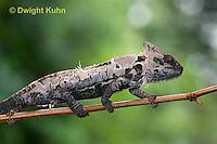 CH50-502z Female Veiled Chameleon molting old skin, Chamaeleo calyptratus