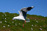 Silver Gull in Flight on the Five Islands during the New South Wales South Coast and Coastal Island bird surveys