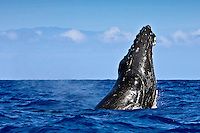 A humpback whale (Megaptera novaeangliae) breaching near Kohola, Big Island, with Maui's Haleakala in the distance.