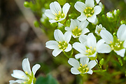 Mountain Sandwort -Arenaria Groenlandica- along the Gulfside Trail during the summer months in the White Mountains, New Hampshire. Found at higher elevations (alpine zone) and in exposed areas around rocky ledges.