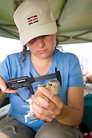 Biologist measuring a shorebird, the Red Knot, for scientific study, Delaware Bay, New Jersey