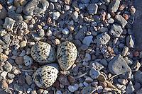 American Avocet nest with eggs. Summer Lake State Wildlife Refuge. Oregon