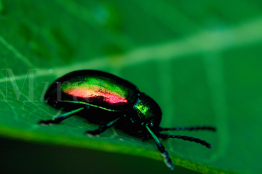 A colorful Leaf Beetle on a leaf.