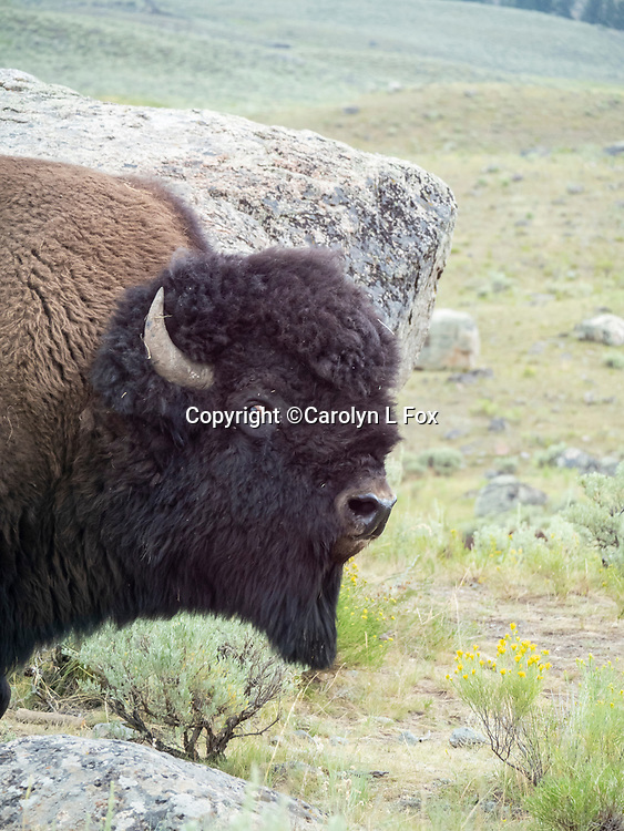 Bison During the Rut Season