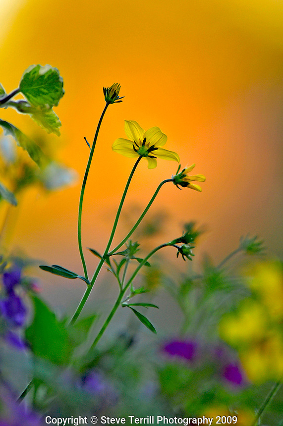 Long stem buttercup flowers in hanging basket