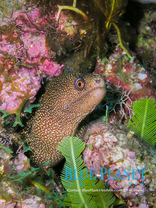 goldentail moray, Gymnothorax miliaris, Caribbean Sea, Atlatnic Ocean
