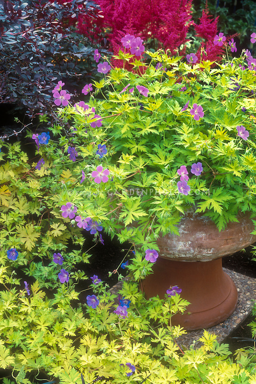 Geranium 'Blue Sunrise' in container garden pot in flower with gold yellow foliage, Astilbe x arendsii 'Catherine Deneuve' aka 'Federsee'