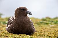 Brown Skua (Stercorarius antarcticus lonnbergi), Subantarctic subspecies resting on Enderby Island in the Aukland Islands, New Zealand.