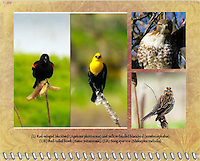 2015 Calendar - Birds of a Feather with photography by Chris Bidleman.<br /> Two different photos of a red-winged blackbird (Agelaius phoeniceus) sitting on a teasel comb (Dipsacus fullonum) and a yellow-headed blackbird (xanthocephalus) sits on a cattail with grass in the background staring at viewer and both seems to have an attitude in the Ridgefield National Wildlife Refuge.