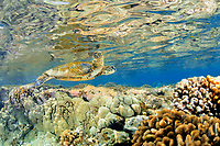 Juvenile green sea turtle, Chelonia mydas, swims in shallow coral reef, Captain Cook, Big Island, Hawaii, North Pacific Ocean