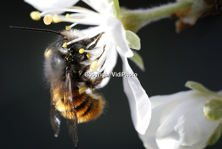 Foto: VidiPhoto<br /> <br /> SLIJK EWIJK – Metselbijen donderdag aan het werk tijdens een mooie lentedag. Het grootste pruimenteeltbedrijf van ons land, B&B Fruit uit Slijk-Ewijk, gebruikt als eerste teler op grote schaal metselbijen om zijn pruimenbloesem te bestuiven. Waar de honingbij pas uit de kast komt bij 12 graden Celsius, veel zon en weinig wind, vliegt z'n wilde concurrent al bij 8 graden en ook tijdens bewolking en een flinke bries. Bovendien maakt de metselbij dagelijks acht vlieguren, tegenover slechts halve werkdagen voor de honingbij. De metselbui vliegt niet verder dan 400 meter en haalt zijn voedsel alleen uit de boomgaard,.  Bovendien zijn de poten van metselbijen hariger dan van honingbijen en blijft er dus meer stuifmeel aan hangen. Het enige nadeel is de prijs: cocons van metselbijen zijn peperduur in ons land. Daarom heeft teler Frederik Bunt zijn bijen uit een ander Europees land, waarvan hij de naam niet wil noemen. Meer vraag drijft namelijk de prijs op.