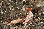 Nudibranch (Hypselodoris maridadilus)