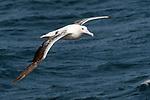Wandering albatross (or snowy albatross, white-winged albatross or goonie) (Diomedea exulans) in flight over the South Atlantic Ocean near South Georgia.