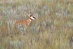 Pronghorn antelope, National Bison Range, Montana, USA