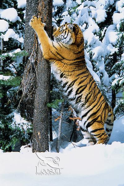 Siberian Tiger (Panthera tigris) marking tree.